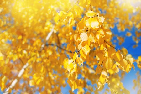 Autumn background with birch tree branches with yellow leaves. Lush yellow birch branches