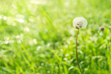 Summer background of green grass dandelion in the morning dew. Bright morning background