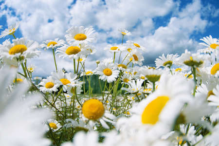Beautiful daisies in the sun. Summer bright landscape with daisy wildflowers in the meadow.