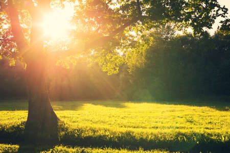 Summer evening landscape. Summer landscape with an old oak tree in the rays of the setting sun