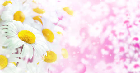 Bright summer background of beautiful flowering daisies. Background for greeting cards