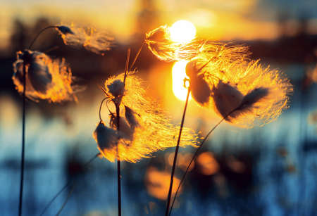 Summer evening landscape. Plant cotton grass over water in beams of the sunset sun