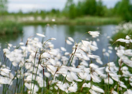 Summer bright landscape with blooming cotton grass. Arctic cotton