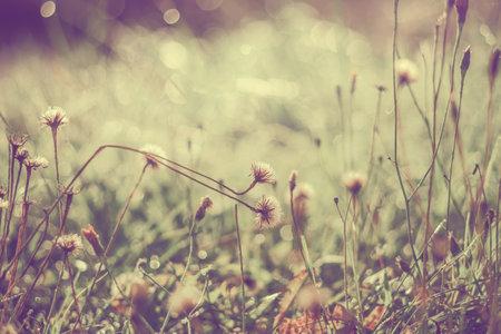 Dandelion flowers in drops of morning dew. Morning scene with dandelions in vintage style
