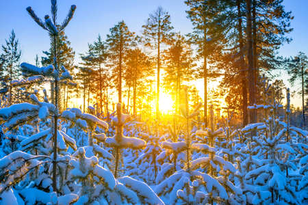 Winter landscape. Winter forest in the rays of the setting sun