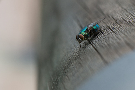 A greenbottle fly, Lucilia sericata, is a blow fly with brilliant, metallic, blue green color. Close-up of tiny diptera, macro photography of flies.