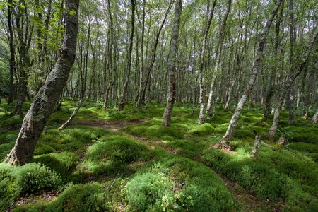 Forest with green carex, green tussock, grass and trees covered with moss in Glendalough, Ireland Banque d'images