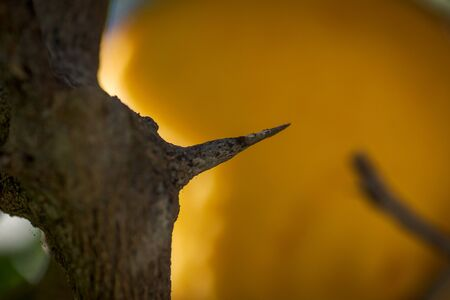 long and sharp thorns or prickles protecting a lemon tree in Spain Banco de Imagens