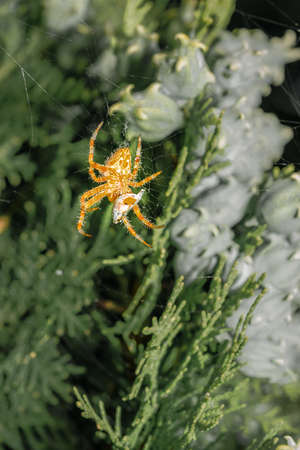 Araneus diadematus on its web eating a ladybug, coccinella magnifica in spring in Palencia, Spain