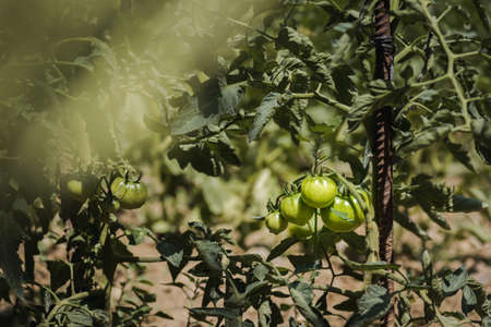 ecologic green tomatoes growing in a home garden. Palencia, Spain.