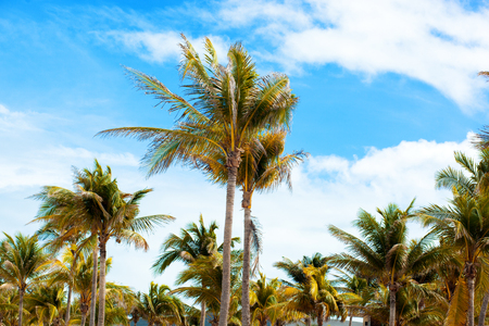 Green palm trees on the background of a blue sky. Tropical island Cuba