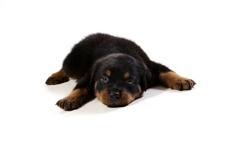 Cute rottweiler puppy at white background photo