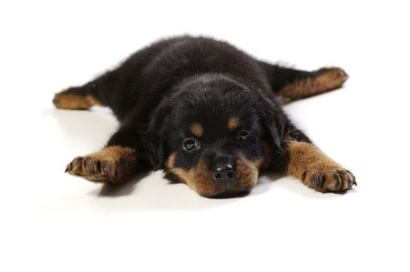 Cute rottweiler puppy at white background