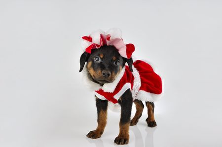 Cute rottweiler puppy wearing santa costume on white background photo