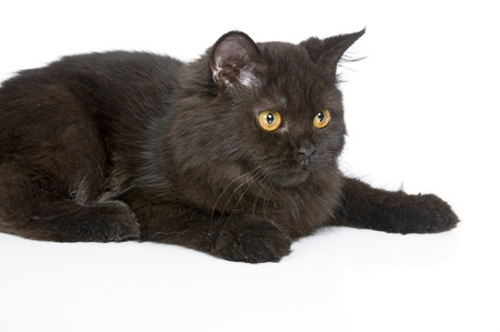 Black persian cat isolated over white background photo