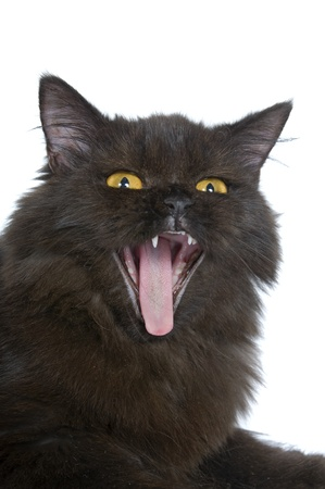 Black persian cat scream isolated over white background photo