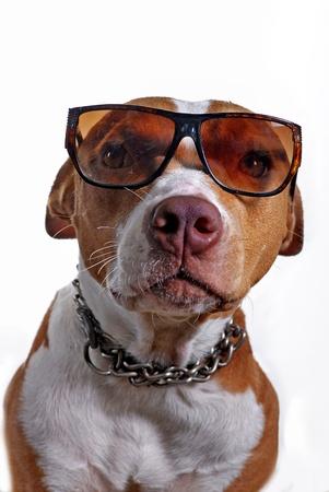 Pitbull terrier dog wearing glasses shot in the studio photo