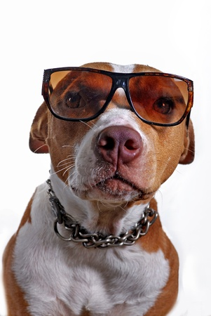 Pitbull terrier dog wearing glasses shot in the studio