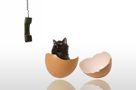 chicken egg: Black persian cat come out from broken chicken egg shell, watching black phone receiver