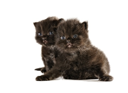Black persian kitten isolated over white background photo