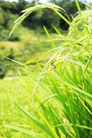 padi: Rice field in Asia. Located in Indonesia Stock Photo