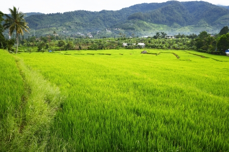 Rice field in Asia. Located in Indonesia photo