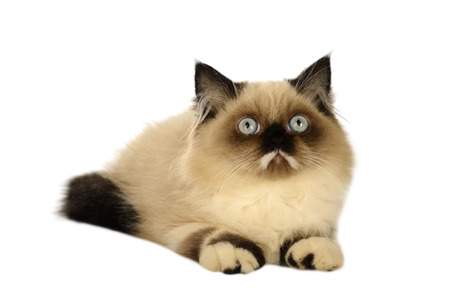himalayan cat: Seal point persian cat isolated over white background