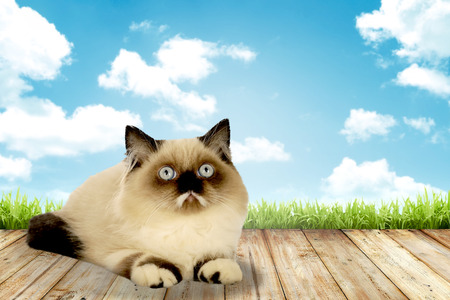 himalayan cat: Cute persian cat with blue sky background Stock Photo