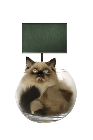 himalayan cat: Cute persian cat inside glass bowl isolated over white background. You can put your design on the board