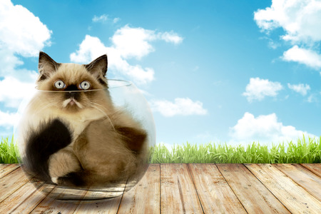 himalayan cat: Cute persian cat inside glass bowl with blue sky background Stock Photo