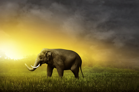 sumatran: Sumatran elephant walking on the field on the sunset