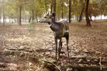 look inside: Female deer look inside the jungle. Animal wildlife concept Stock Photo