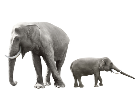 sumatran: Set of sumatran elephant image isolated over white background