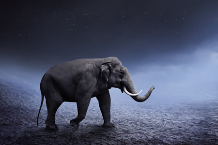sumatran: Sumatran elephant walk on the desert with night background Stock Photo