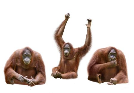 Set of image orangutan isolated over white background Stock Photo
