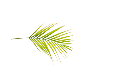 Palm branch with green leaves isolated over white background