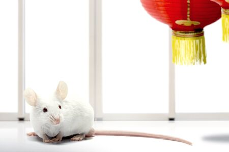 White mouse and Chinese lantern. Happy Chinese New Year