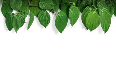Tropical green leaves on white wall background