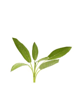 Green twig of sage isolated over white background Stockfoto