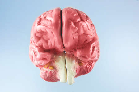 The human brain with bright background Stock Photo