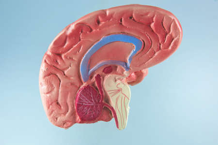 The nervous system in the human brain with bright background