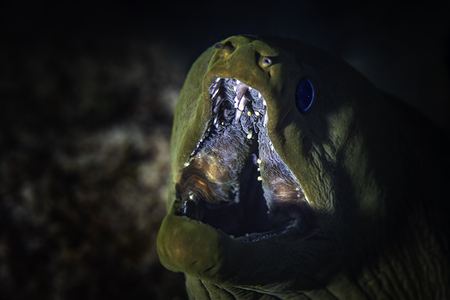 Moray Eel  with open mouth close-up. Reklamní fotografie - 119275507
