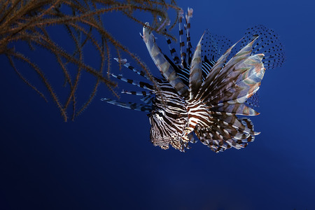 Lionfish hunting in the reef.