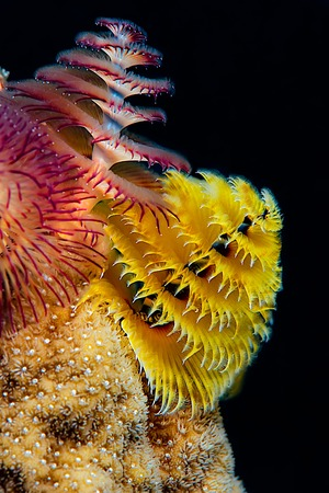 Christmas tree worms living atop a coral formation with beautiful colors and black background.