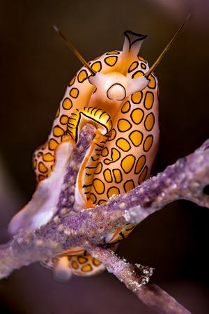 Flamingo Tongue Snail close-up on a soft tropical coral.