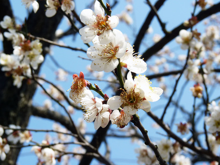 plum blossom tree during spring flowering season photo