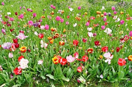 tulip Stock Photo - 13008625