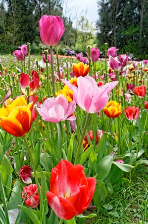 tulipa: tulip in a garden near my house Stock Photo