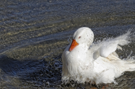 white duck in a river near my house photo