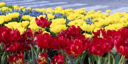 tulip in hdr in my garden photo